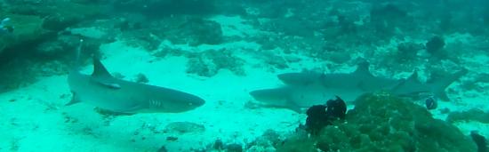 Naprosto neškodní žraloci na Bali :)